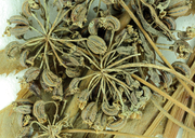 Cicuta maculata var. bolanderi