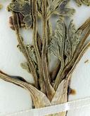 Cymopterus multinervatus