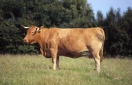 South Devon Cow