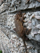 """Chilled specimen clinging to wall<br /><strong>Location:</strong> Bulawayo (Matabeleland, Zimbabwe)<br /><strong>Author:</strong> <a href=""""http://calphotos.berkeley.edu/cgi/photographer_query?where-name_full=Simon+J.+Tonge&one=T"""">Simon J. Tonge</a>"""