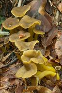 Cantharellus tubaeformis