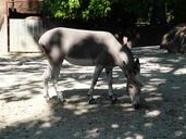 Equus asinus somalicus