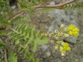 Rorippa columbiae