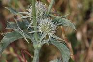 Eryngium jepsonii