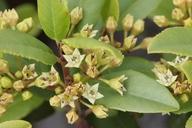 Frangula californica ssp. californica