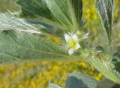 Ditaxis serrata var. serrata