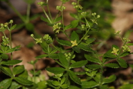 Galium californicum ssp. californicum