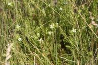 Horkelia californica ssp. dissita