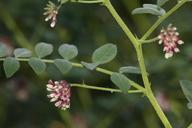 Hosackia stipularis