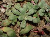 Camissoniopsis cheiranthifolia ssp. suffruticosa