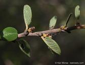 Ceanothus verrucosus
