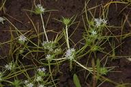 Navarretia leucocephala ssp. pauciflora