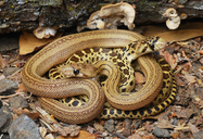 Pacific Gophersnakes