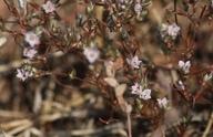 Polygonum polygaloides ssp. esotericum