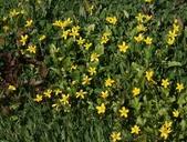 Ranunculus orthorhynchus var. bloomeri