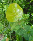 Coccoloba uvifera