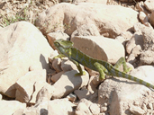 "with hatchlings<br /><strong>Location:</strong> Oman, Dhofar, Wadi Dirbat (Oman)<br /><strong>Author:</strong> <a href=""http://calphotos.berkeley.edu/cgi/photographer_query?where-name_full=Luca+Tringali&one=T"">Luca Tringali</a>"