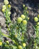 Chamomilla occidentalis