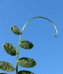 Vicia gigantea