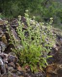 Phacelia nemoralis ssp. nemoralis