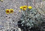 Ash Meadows Daisy