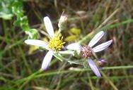 Eucephalus tomentellus