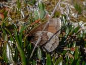 Erebia fasciata