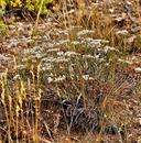 Eriogonum microthecum var. laxiflorum