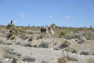 Equus asinus