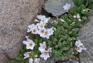 Polemonium pulcherrimum var. shastense