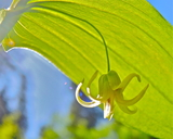 Streptopus amplexifolius var. americanus