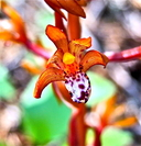 Corallorhiza maculata var. occidentalis