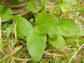 Packera pauciflora