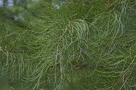 Taxodium distichum var. imbricarium