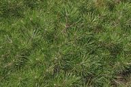 Pinus mugo var. pumilio