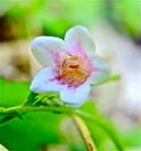 Linnaea borealis var. longiflora