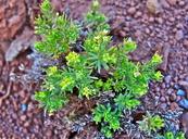 Galium ambiguum ssp. siskiyouense
