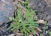 Thysanocarpus laciniatus