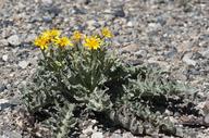 Crepis occidentalis ssp. pumila