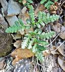 Pentagramma triangularis ssp. rebmanii