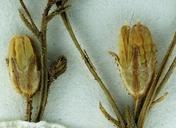Aliciella hutchinsifolia