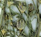 Gilia modocensis