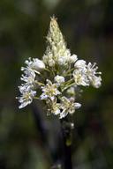 Toxicoscordion venenosum var. venenosum