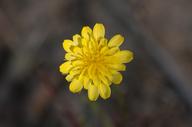 Agoseris heterophylla var. heterophylla