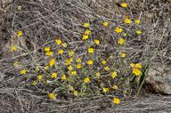 Pseudobahia bahiifolia