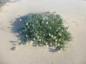 Astragalus nuttallii var. nuttallii
