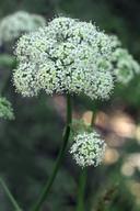 Ligusticum grayi