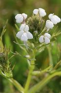 Triphysaria versicolor ssp. versicolor