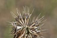 Microseris douglasii ssp. platycarpha