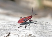 Western Box Elder Bug